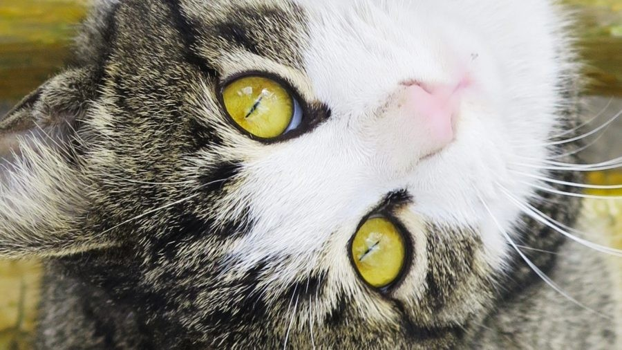 Green-Eyed Tabby Kitty-Cat Says Meow